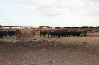 Sawyer's Cattle