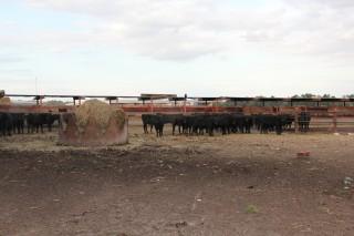Sawyer's Cattle