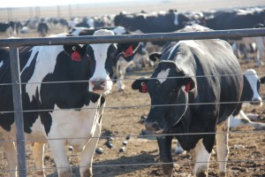 McCarty Dairy Cows