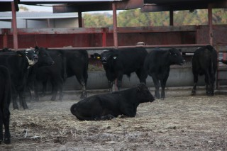 Sawyers Cattle