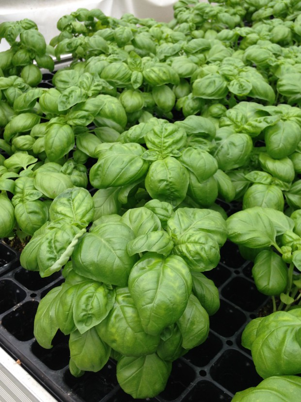 Cal-Ann Farms – The Freshest Basil in Kansas City